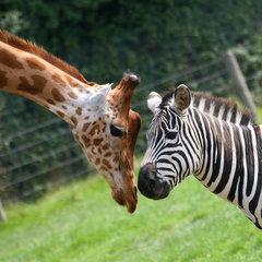 Giraffen en zebra's